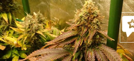 Strain Review: ICE