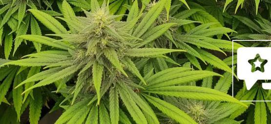 Strain Review: Pineapple Chunk