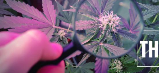 Grow Tip: Boost THC With UV Light
