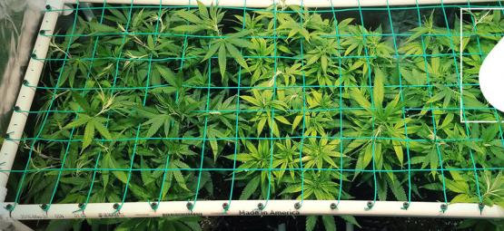 How To Use Aeroponics To Grow Potent Cannabis