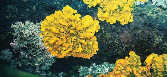 The Forgotten Hallucinogenic Lichens