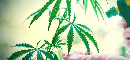 How And When To Foliar Spray Your Cannabis Plants