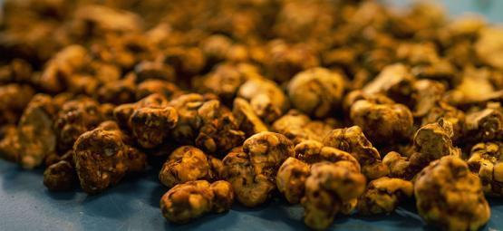 Truffle Biology: Why do Fungus Make Sclerotia?
