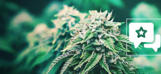 Strain Review: Agent Orange