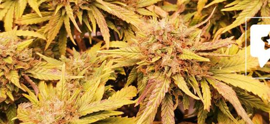 Strain Review: Liberty Haze