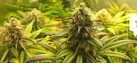 Strain Review: Super Critical
