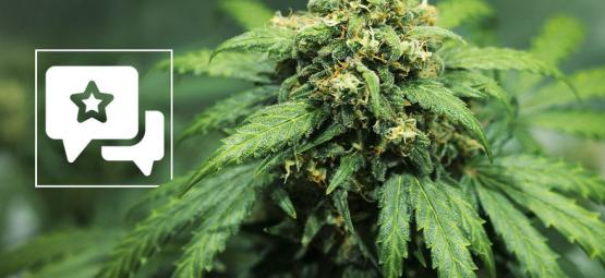Strain Review: Royal Dwarf