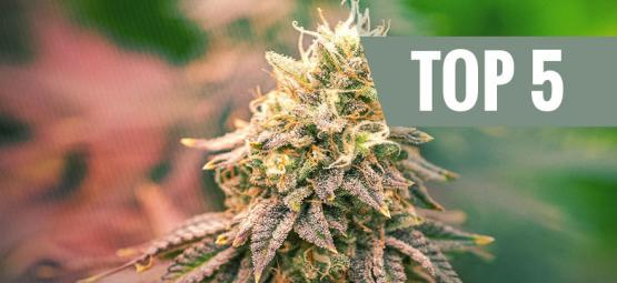 Top 5 Indica Strains For 2021