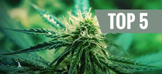 Top 5 Sativa Cannabis Strains for 2019