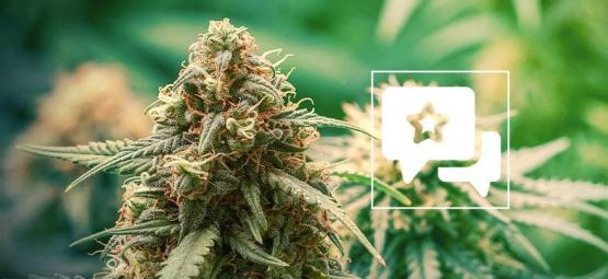 Master Kush: Cannabis Strain Review & Information