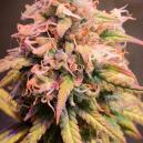 Strain Review: Shining Silver Haze (Royal Queen Seeds)