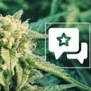 Strain Review: Blueberry Automatic (Zamnesia Seeds)