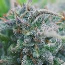 Cime biologiche - Cannabis Indoor