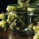 The Surprising Connection Between Cannabis And Hops