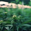 Using LED Lights To Maximize Your Cannabis Grow