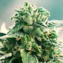 The Origins Of Haze (+ Best Haze Strains)