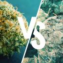 Differenze tra una Marijuana Buona ed una Cattiva