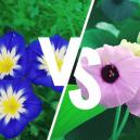 Morning Glory Vs. Hawaiian Baby Woodrose: What's The Difference?