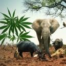 Go On Safari With These 5 Cannabis Strains Resembling The Big Five