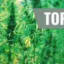 Top 7 Original Cannabis Strains And Their Creators