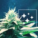 The Origin Of Northern Lights Cannabis And The Top 3 Northern Lights Strains