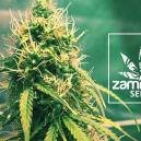 New Zamnesia Strain: Girl Scout Cookies