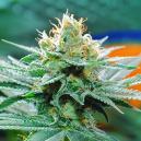 The Origin Of Amnesia Cannabis And The Top 3 Amnesia Strains