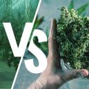 Wet Vs Dry Trimming Your Cannabis Plants