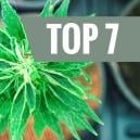 Top 7 Cannabis Strains With A Unique THC:CBD Ratio