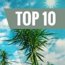 Top 10 High Yielding Feminized Cannabis Strains