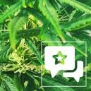 Strain Review: Kali Mist