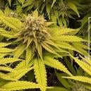 Strain Review: Kosher Kush