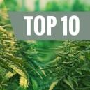 Top 10 Best Feminized Cannabis Strains