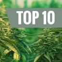 Top 10 – The Best Feminized Strains Of Cannabis