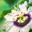 Passionflower - The Great Enhancer