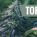 Top 5 Advantages Of Autoflowering Strains
