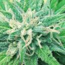 Frisian Duck: A New And Revolutionary Strain From Dutch Passion