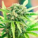 Strain Review: Moby Dick