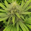 Strain Review: Pineapple Chunk