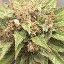Strain Review: Durban Poison