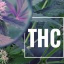 Grow Tip: Boost THC With UV Light