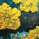 The Forgotten Hallucinogenic Lichens