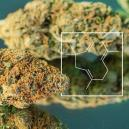 Terpene Boost: How To Grow Real Skunky Weed