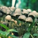 Magic Mushroom Hunting: A Field Guide