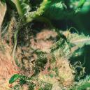 How To Spot And Prevent Bud Rot/Mould