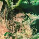 Grow Tip: How To Spot And Prevent Bud Rot