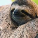 The Secret Behind Spaced-Out Sloths: A Valium-Like Fungus