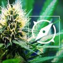 The Origin Of OG Kush Cannabis And The Top 3 OG Kush Strains