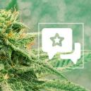 Strain Review: Blue Dream