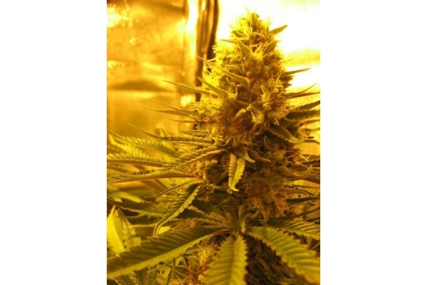 Critical (Royal Queen Seeds) femminizzata
